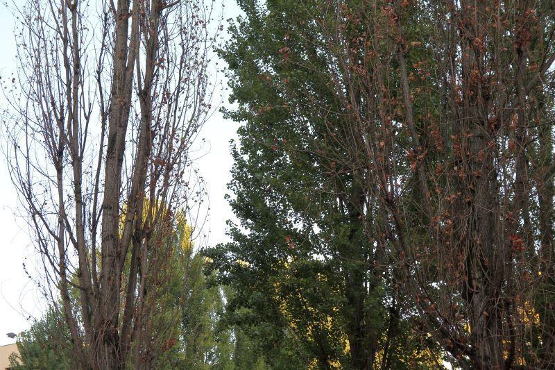 Foto Luigi Boschi: i pioppi rinsecchiti nel piazzale della Pace
